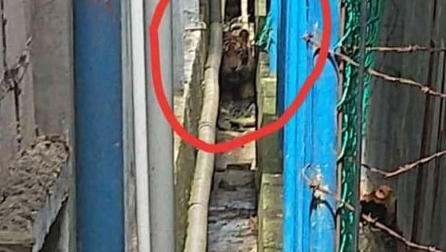 Geger, Harimau Terjebak di Antara Ruko