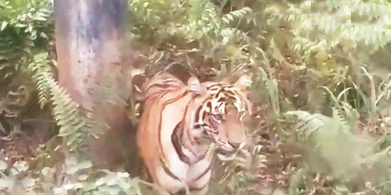 Harimau Berkeliaran di Dekat Kompleks BOB