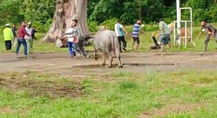 Mengamuk, Seekor Kerbau Kurban di Pelalawan Lukai Warga
