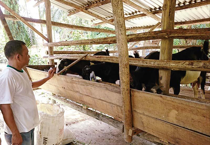 Integrasi Sawit dan Ternak Untungkan Petani