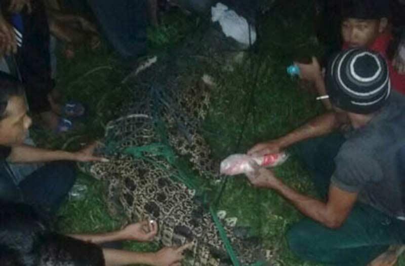 Serang Nelayan, Warga Tangkap Buaya di Desa Kota Lama