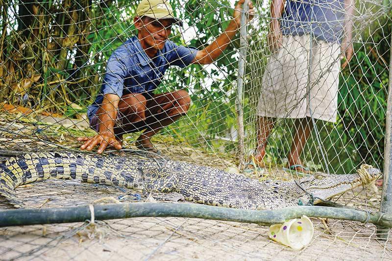 Buaya Masuk Perangkap Ikan