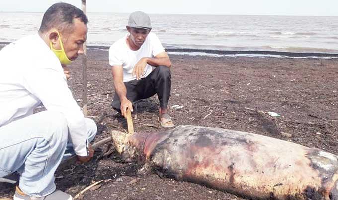 Bangkai Dugong Ditemukan di Pantai Pulau Bungkuk