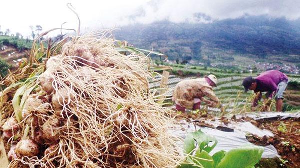Ajak Petani Bawang Hijrah dari Tengkulak ke KUR