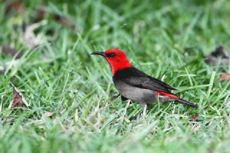 Burung Myzomela Irianawidodoae Jadi Ikon Satwa Nasional 2019
