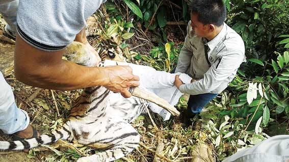 Harimau Sumatera Mati Terjerat