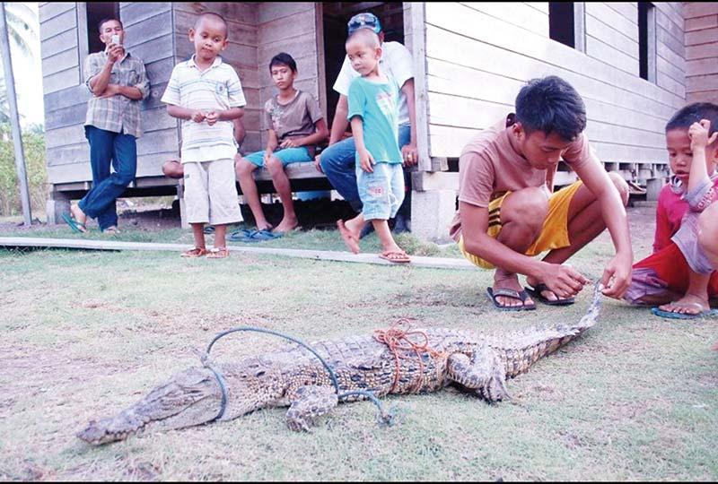 Buaya Masuk Pemukiman Warga Desa Tanjung