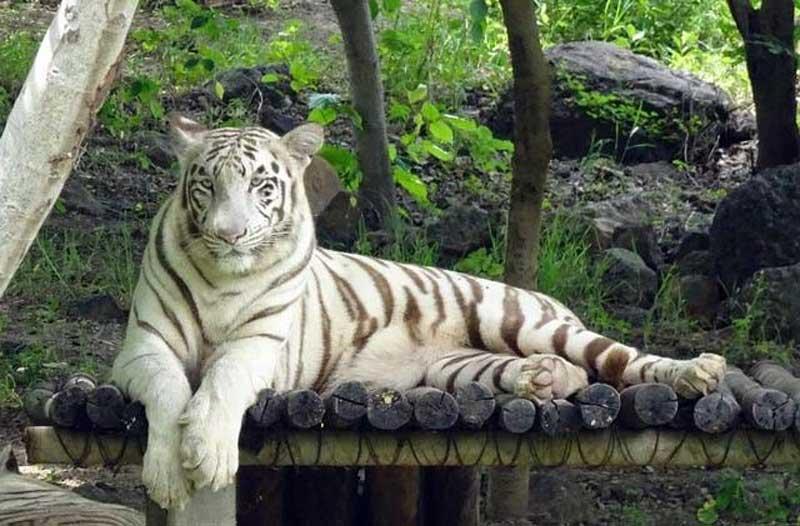 Pekerja di Inhil Tewas setelah Diserang Harimau