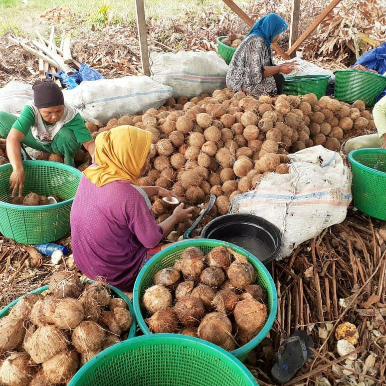 Wacana Larangan Ekspor Kelapa Buat Petani Riau Resah