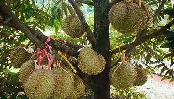 Durian dan Alpukat Lokal Bidik Ekspansi Ekspor