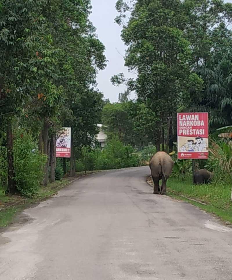 Dua Ekor Gajah Muncul di Pinggir Jalan
