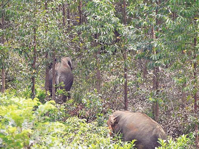 Kawanan Gajah Berkeliaran di Kebun Warga