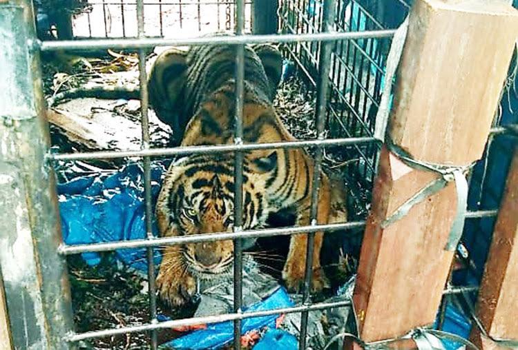 Harimau Masuk Kandang Jebak, Diduga yang Mangsa Manusia di Teluk Lanus