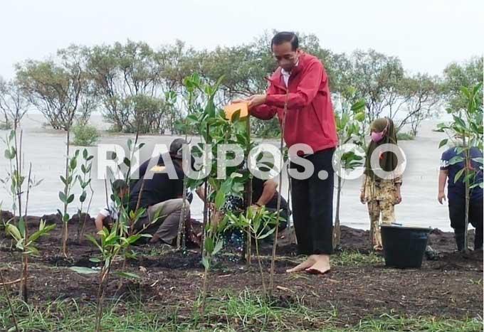 Tiba di Bengkalis, Presiden Jokowi Tanam Mangrove di Pantai Raja Kecik