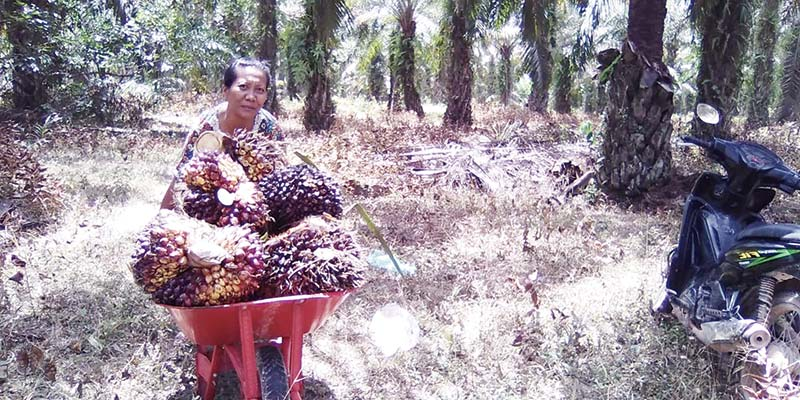 Kabar Gembira, Harga TBS Kelapa Sawit Riau Naik Rp160,80 per Kg