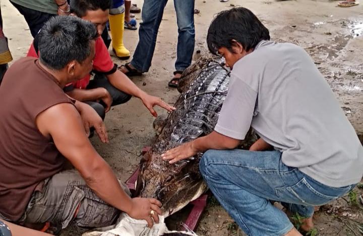 Giliran Nelayan di Inhil Dimangsa Buaya