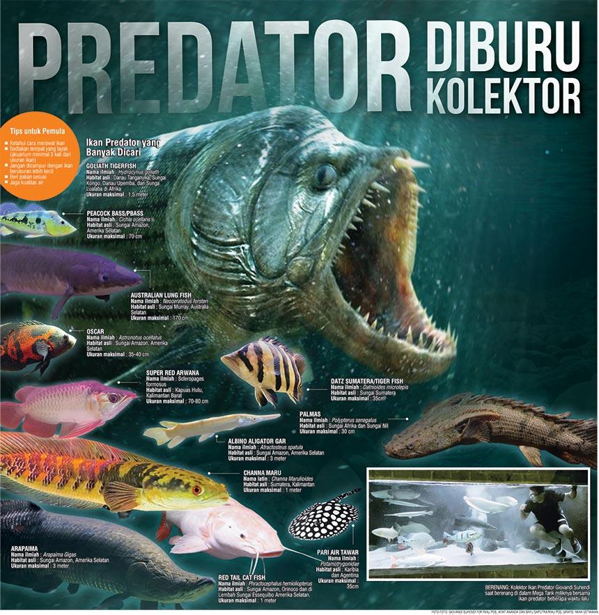 Predator Diburu Kolektor