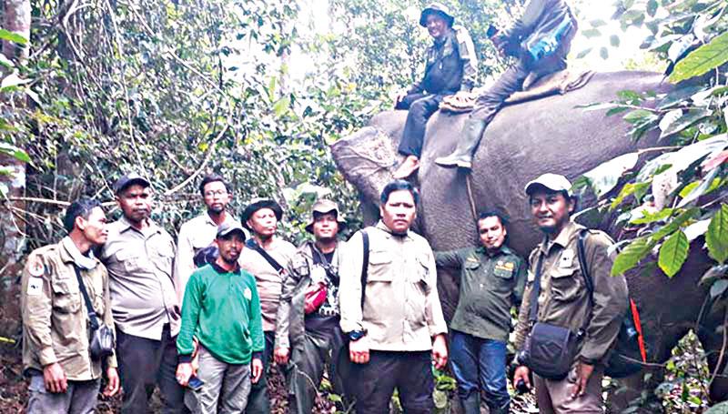 Gajah Liar Digiring Tinggalkan Kelayang