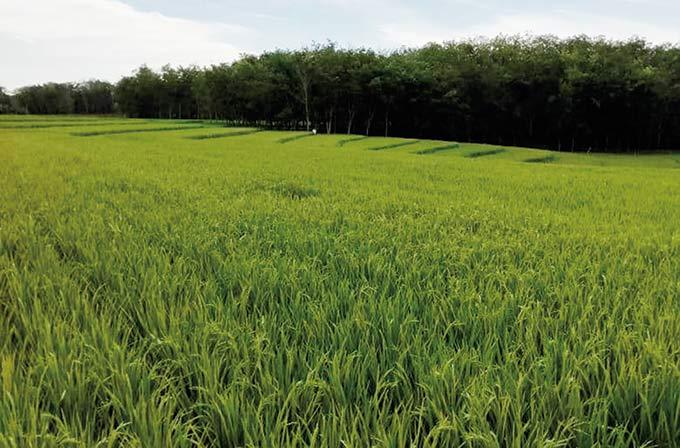 Bupati: Setiap Bulan, 2.000 ASN Beli Beras Petani