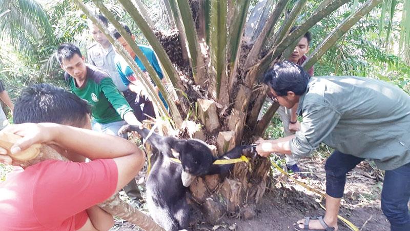 BBKSDA Evakuasi Anak Beruang Madu Terjerat Tali Nilon