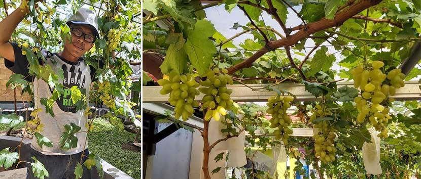 Budidaya Anggur di Halaman Rumah