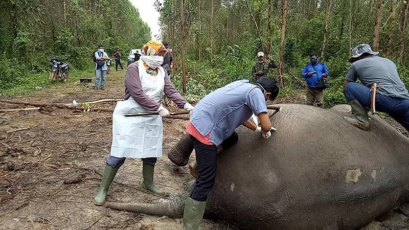 Gangguan Pencernaan, Gajah Berumur 40 Tahun Mati