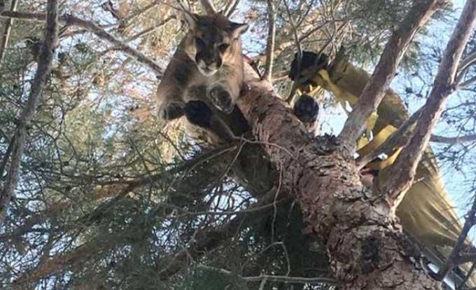 Seekor Singa Terjebak di Pohon