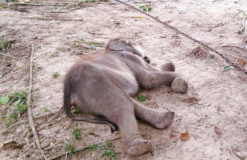 Lagi, Gajah Mati Akibat Gangguan Pencernaan