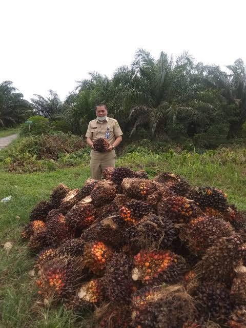 Pecah Rekor, Harga TBS Kelapa Sawit Tembus Rp3.014 per Kg