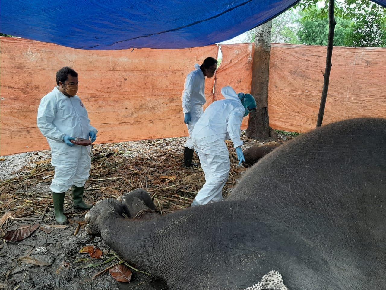Febri, Gajah Sumatera 32 Tahun Mati Mendadak di Konservasi Kasang Kulim