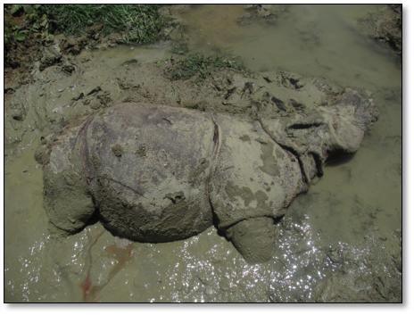 Satu ekor Badak Jawa Mati di Ujung Kulon