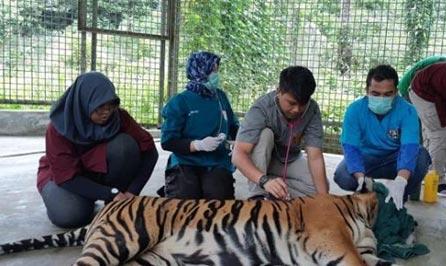 Terjerat, Harimau Inung Nio Akhirnya Mati