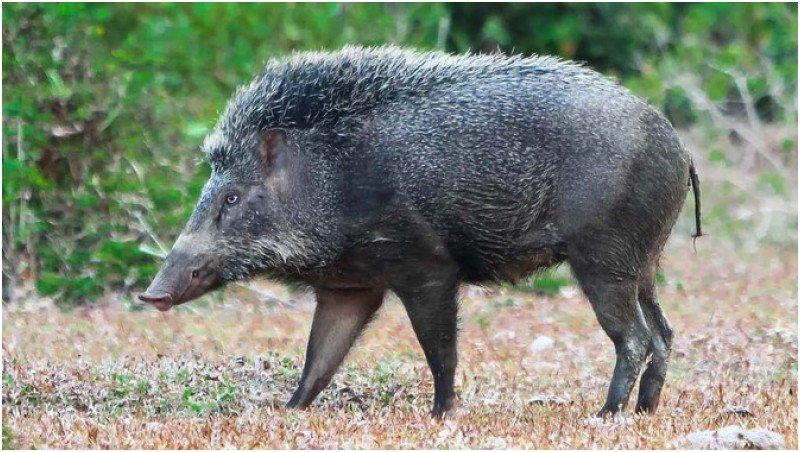 Di Italia, Babi Hutan Bongkar Penyimpanan Kokain