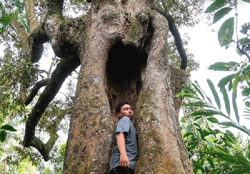 1000 Buah dari Satu Pohon Durian