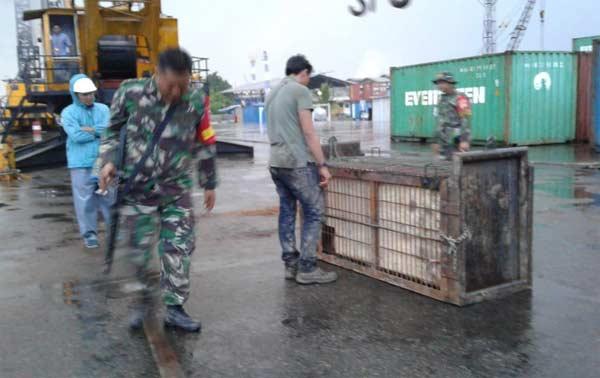 Harimau Terjebak di Kolong Ruko, Berhasil Diselamatkan