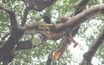 Menaruh Harapan di Ketinggian Pohon Sialang