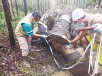 Gajah Sumatera Mati Mengenaskan