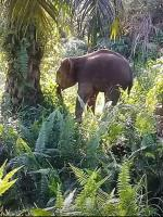 Dua Gajah Liar Berkeliaran di Kelayang