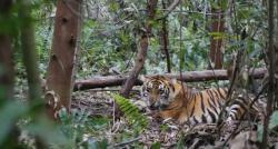 Warga Serapung Diserang Harimau Saat Menebang Kayu di Hutan