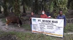 Sambut Idul Adha,13 Sapi Kurban Disalurkan PT Musim Mas di Pelalawan