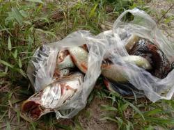 Ratusan Ikan Mati di Sungai Ati-Ati Indragiri Hulu