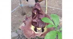 Bunga Bangkai Tumbuh di Senggoro
