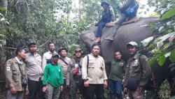 Gajah Liar juga Ada di Kecamatan Kelayang
