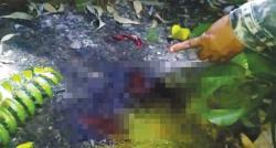 Hiii....Jasad Korban Terkaman Harimau Ditemukan Tanpa Kepala