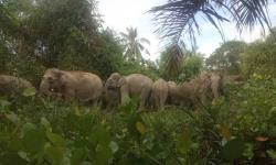 14 Gajah dari GSK Masuk Perkebunan Warga di Desa Semunai