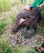 Anak Gajah TerkenaJerat Babi