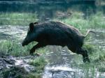 Babi Hutan Bongkar Penyimpanan Kokain
