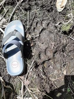 Kembali, Jejak Harimau Ditemukan di Kebun Plasma Sawit Tapung