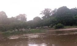 Kawanan Gajah Berkeliaran, Petani Karet dan Pisang Takut ke Kebun