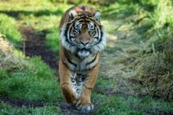 BBKSDA Riau Belum Temukan Tanda-Tanda Keberadaan Harimau